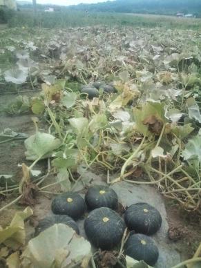 20110830_カボチャ収穫