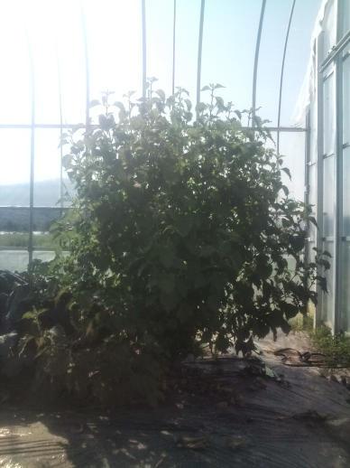 20110929_シソの木