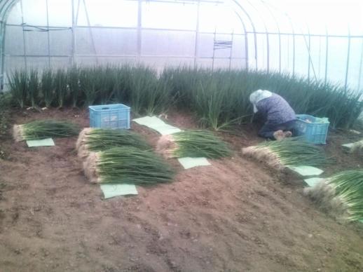 20111012_最後の青ネギ収穫
