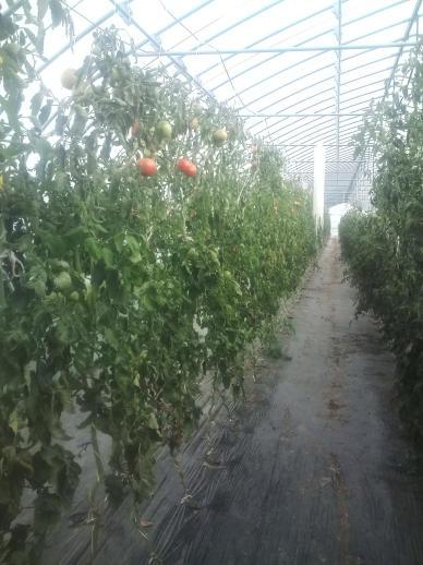 20111011_2番ハウストマト