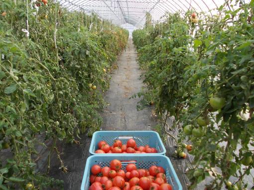 20111024_自家用ジュース用トマト収穫