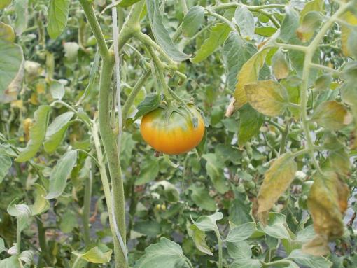 20111024_フルーツトマト