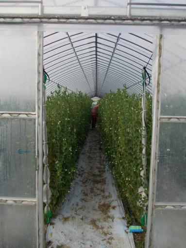 20111028_キヌサヤ最後の収穫