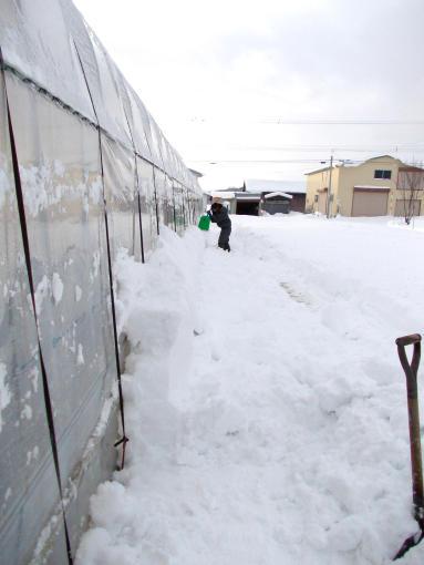 20111219_スコップで除雪2