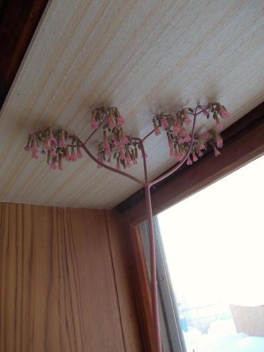 20120202_ベンケイソウの花