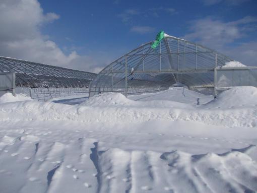 20120203_雪に埋まったハウス