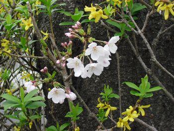 木の根元から桜が咲いてる