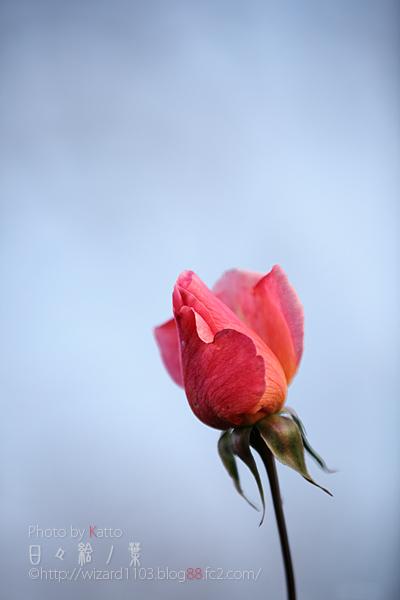 20101114のバラ1