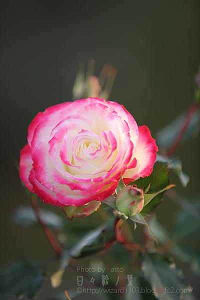 20101114のバラ7