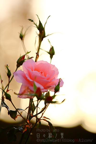 20101114のバラ5