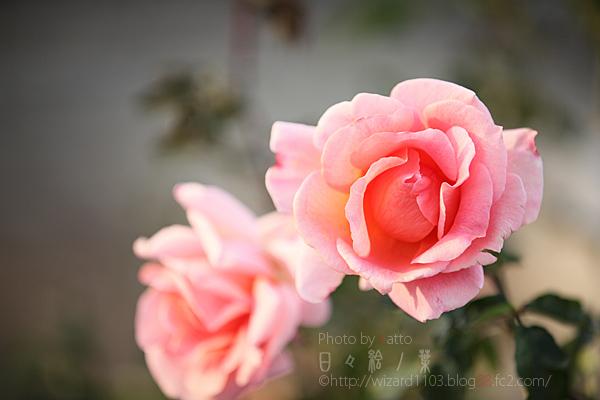 20101114のバラ4