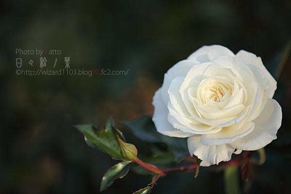 20101114のバラ2