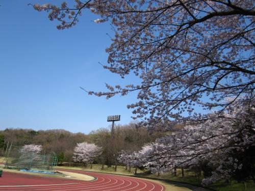 所沢キャンパス陸上競技場桜