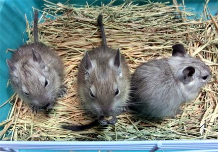デグー赤ちゃん3匹トリオ