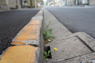 道端のタンポポ