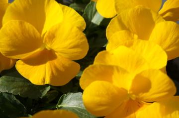 2011.1.3黄色いパンジー