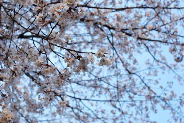 100324高尾山の桜-2