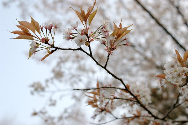 100324高尾山の桜-1