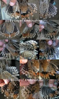 オオジシギ幼鳥