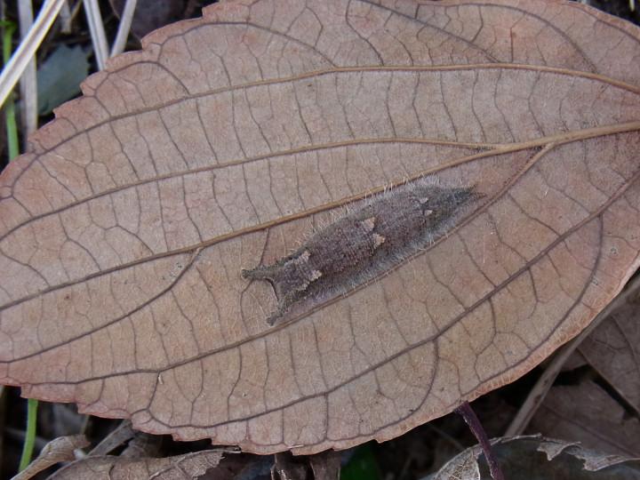 ゴマダラチョウ幼虫-R0016442