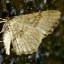 64-未同定の黄色い蛾