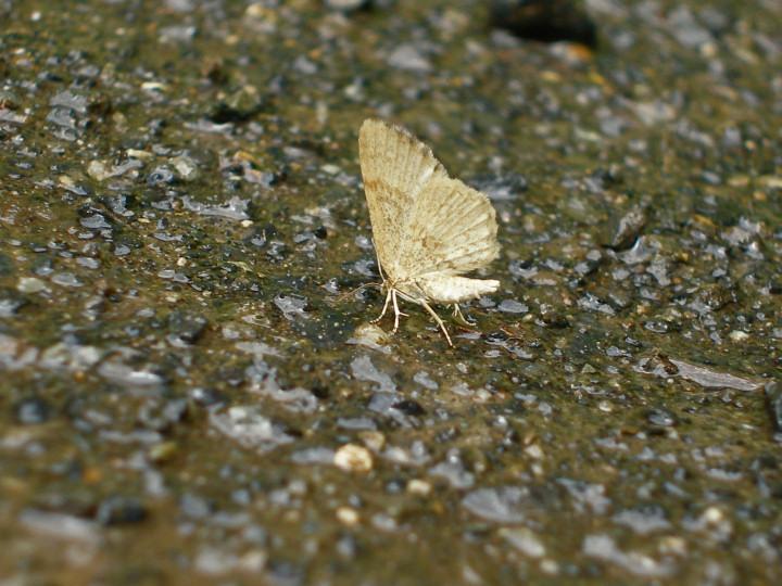 未同定の黄色い蛾-P7050317