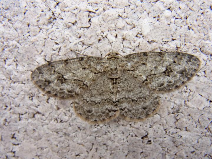 未同定のうす茶色の蛾-RIMG0105