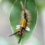 64-コシロモンドクガ幼虫