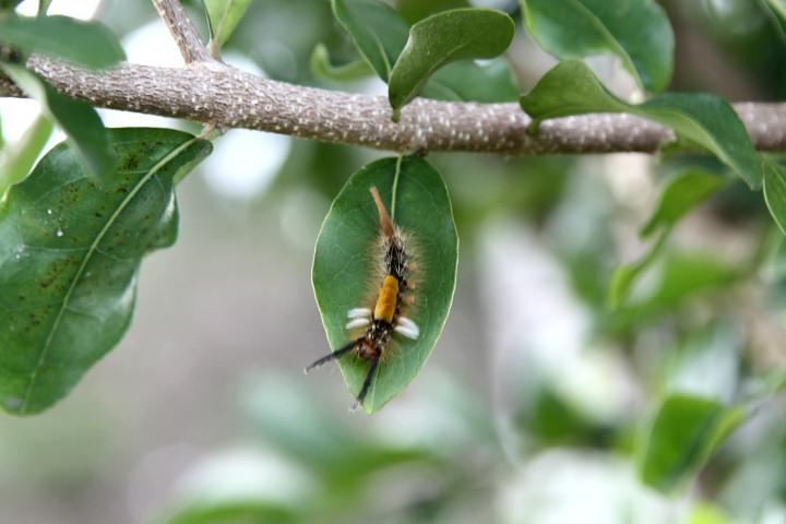 コシロモンドクガ幼虫-IMG_1795