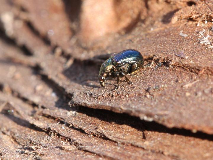 未同定の甲虫-IMG_5617
