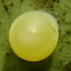 クロアゲハ卵