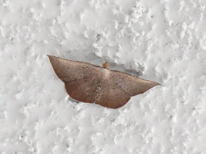 未同定の茶色の蛾-R0017369