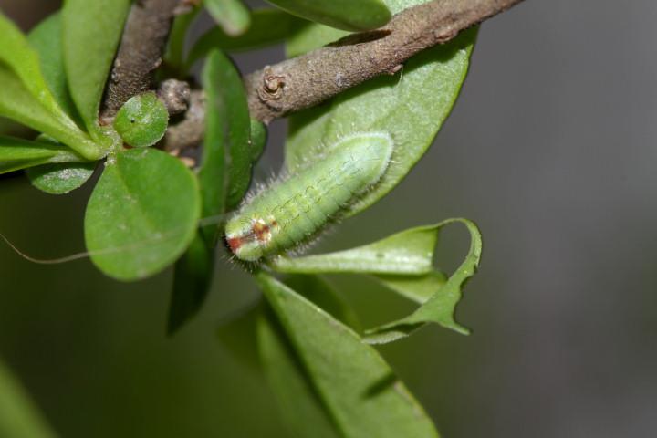 ウラゴマダラシジミ幼虫6mm-IMG_0872