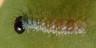 96-ルリタテハ幼虫2.5mm-R0017510