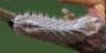 96-オオミドリシジミ幼虫-IMG_4351
