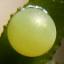 64-アゲハ卵-R0018023
