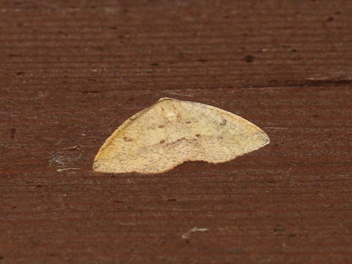 未同定の黄色の蛾-IMG_2320