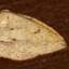 未同定の黄色の蛾