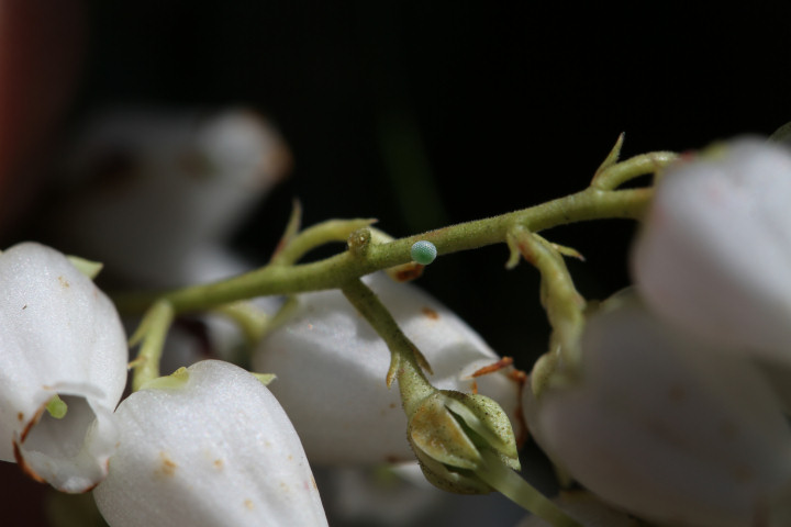 コツバメ卵-IMG_3601
