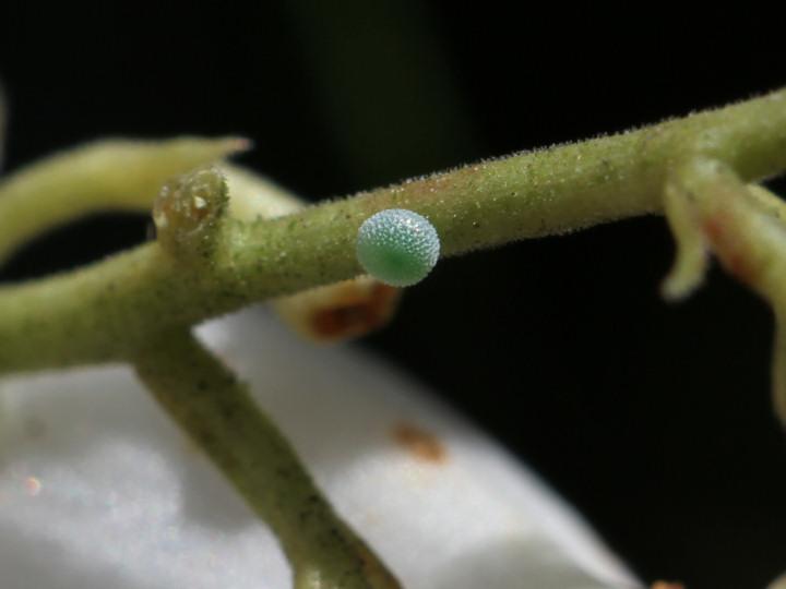 コツバメ卵(拡大)-IMG_3601