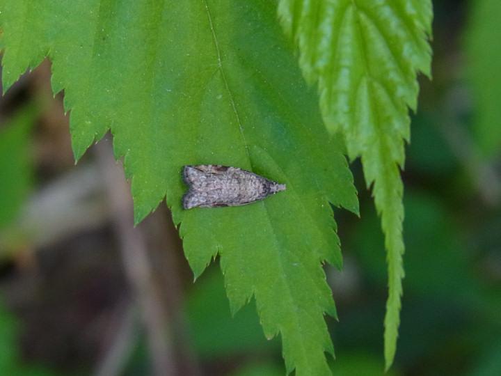 未>うす茶色の蛾-R0017876