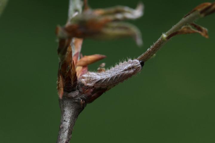 オオミドリシジミ幼虫5mm-IMG_4351