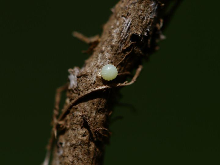 コチャバネセセリ卵-IMG_4681