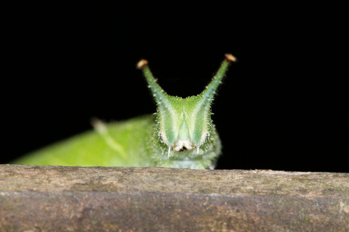 コムラサキ幼虫43mm-IMG_4984
