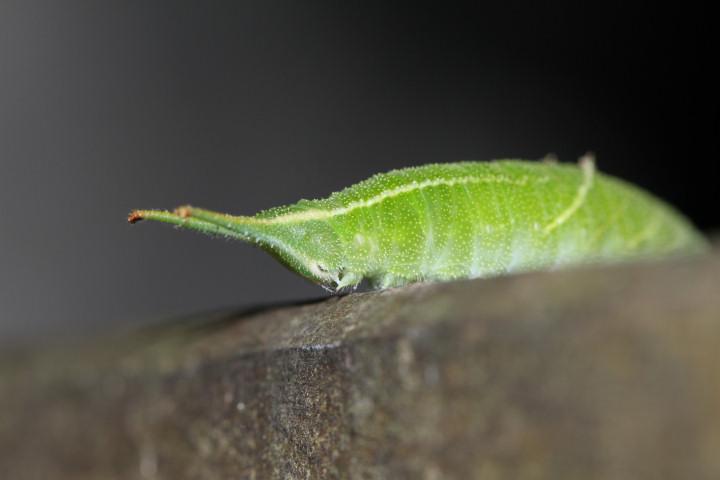 コムラサキ幼虫43mm-IMG_4986
