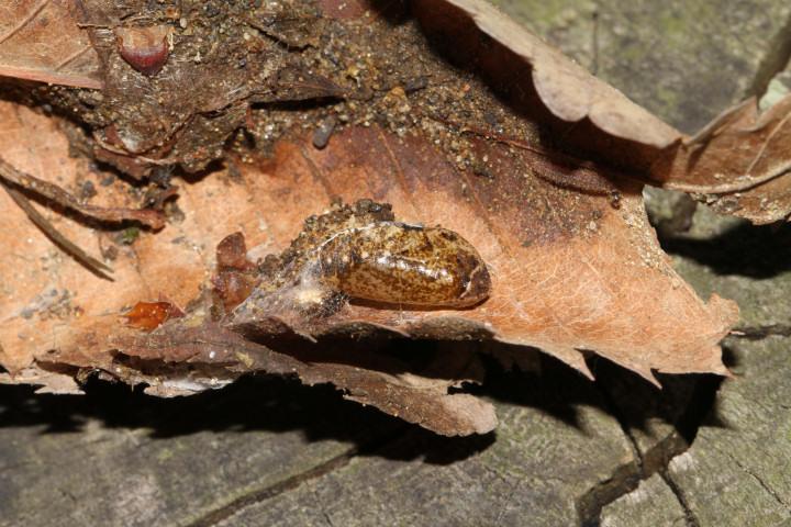 ミドリシジミ蛹-IMG_2774