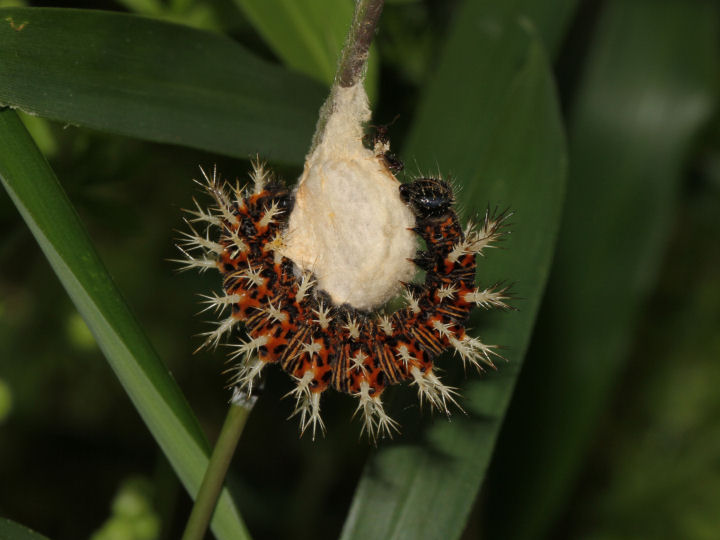 ルリタテハ幼虫-IMG_4278