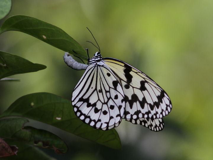 オオゴマダラ♀-IMG_2468