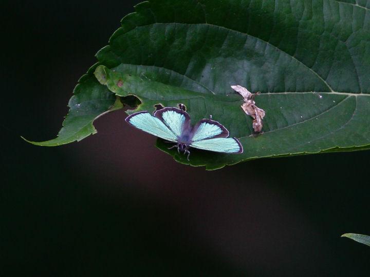 メスアカミドリシジミ♂-IMG_5980