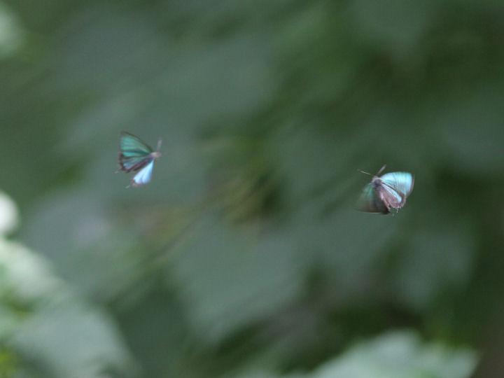 メスアカミドリシジミ♂-7D2_5989
